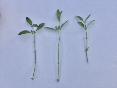 salvia plant cuttings