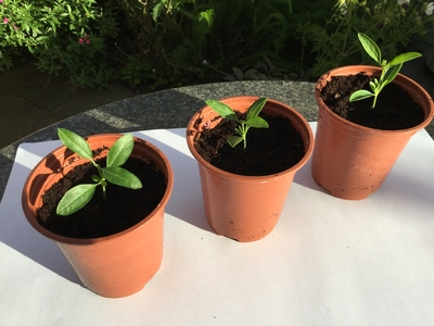 Salvia cuttings in pots