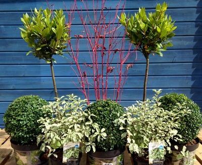 evergreen plants for an autumnal border