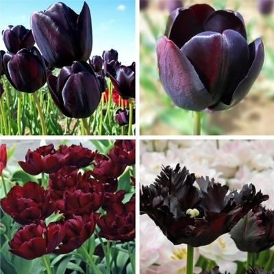 Queen of the night tulips