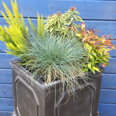 evergreen plants container