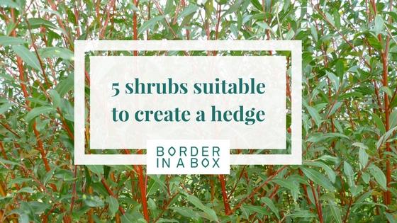 5 shrubs for hedging