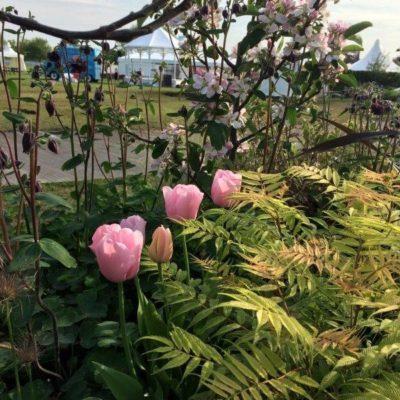 pink tulips & apple tree