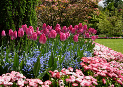 garden border with pink tulips, forget me nots and daisy