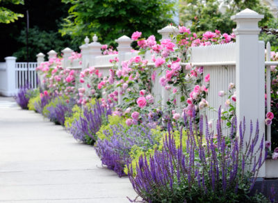 white fence with pink roses, alchemilla mollis and salvia caradonna