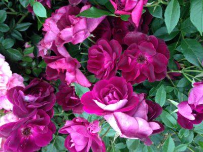 Rosa purple flower