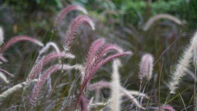 Penesetum purple grass