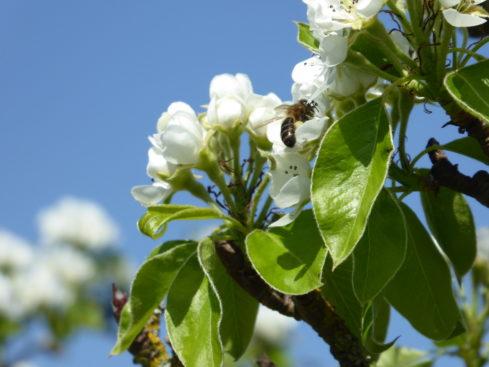honeybee white pear blossom