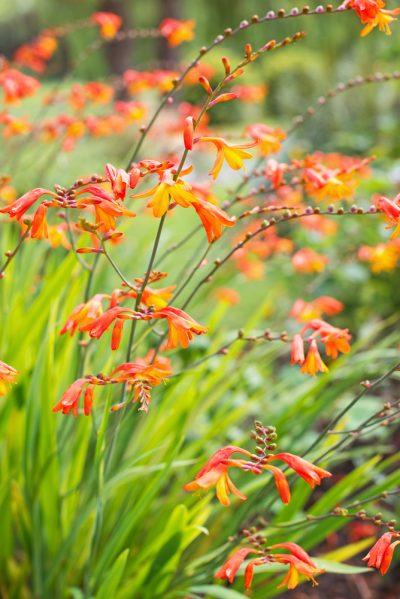 Crocosmia orange flower