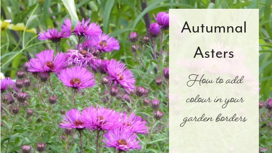 Aster purple flower