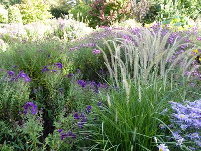Picton Garden aster grasses