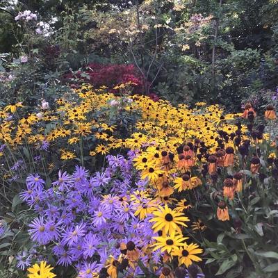 Rudbeckia yellow daisy Picton Garden