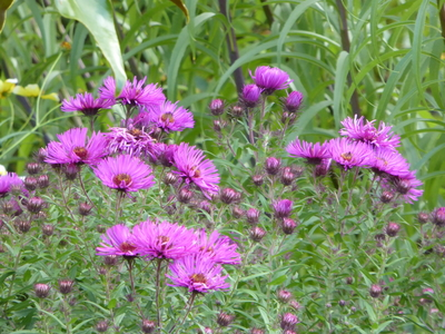 Picton gardens purple aster
