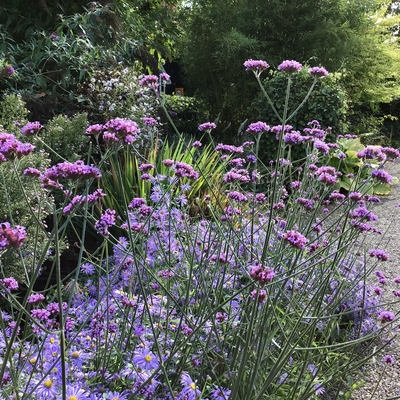 Picton gardens verbena bonariensis