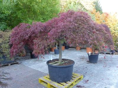 Acer palmatum dissectum Inabe Shidare