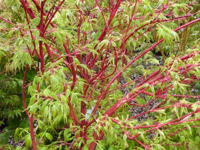 Acer palmatum sango-kaku