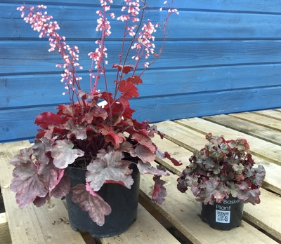 heuchera in flower