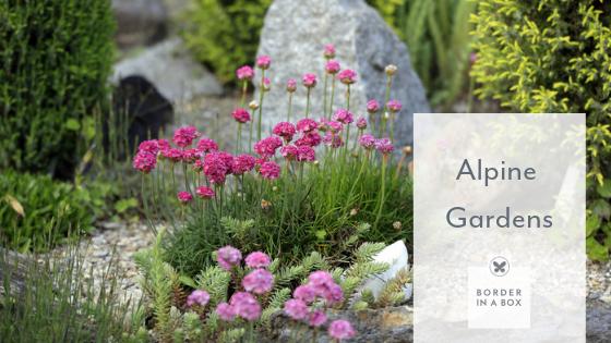 Almeria maritima alpine plant pink flower