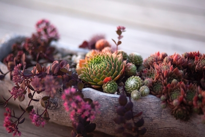 alpine trough succulent plants