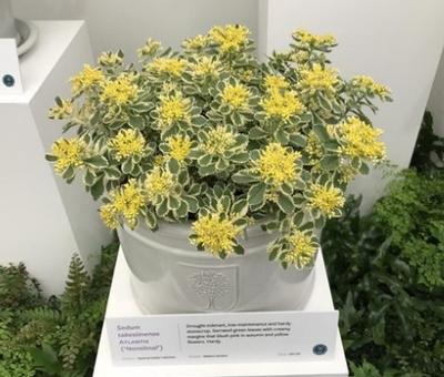 RHS Chelsea Sedum plant of the year
