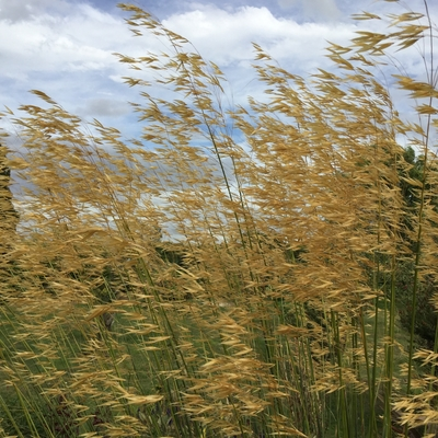 stipa gigantea grass oat flowers