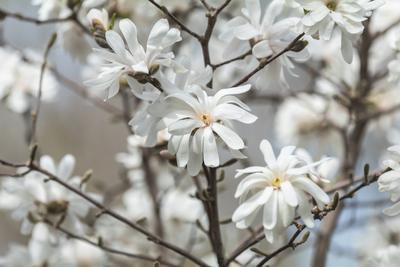 Magnolia stellata white flower