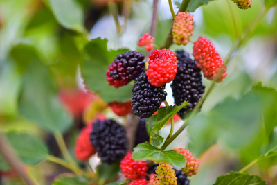 mulberry tree fruits