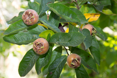 Medlar fruit tree