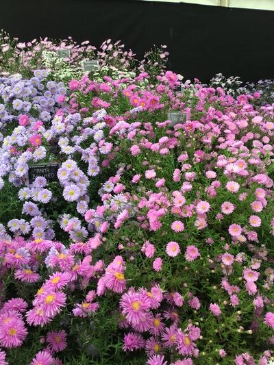 Aster Picton Gardens