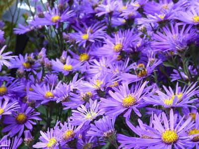 Aster blue daisy