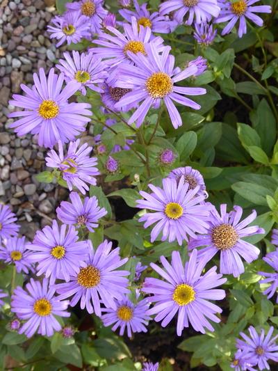 Aser blue daisy