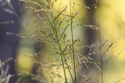 Molinia Edith Dudszus moor grass
