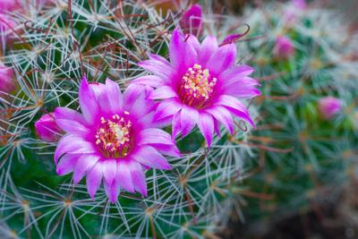 Mammillaria cacti pink flowers