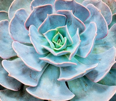 Echivera succulent plant