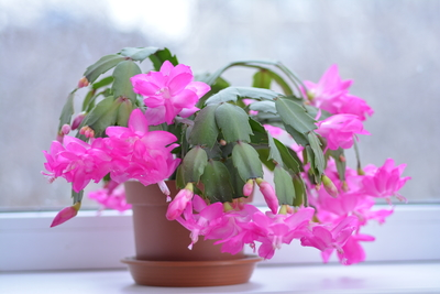 christmas cacti pink flower