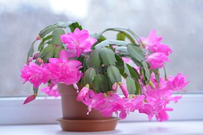 christmas cacti pink flower
