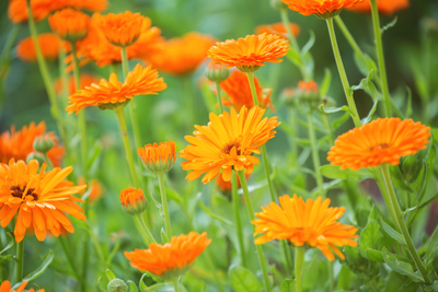 calendular orange flower