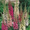 Foxglove digitalis purpurea pink yellow white flowers
