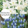 muscari narcissi flowers