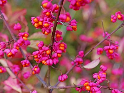 Euonymus berries