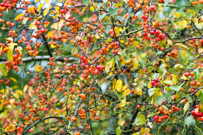 Malus evereste crab apples