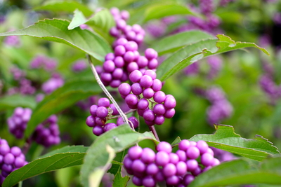 calicarpa purple berries