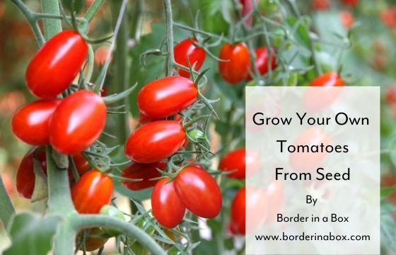 grow your own tomatoes from seed blog header