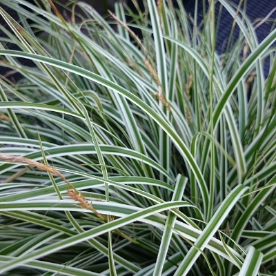carex grass