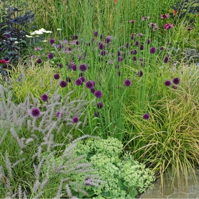 alliums with grasses